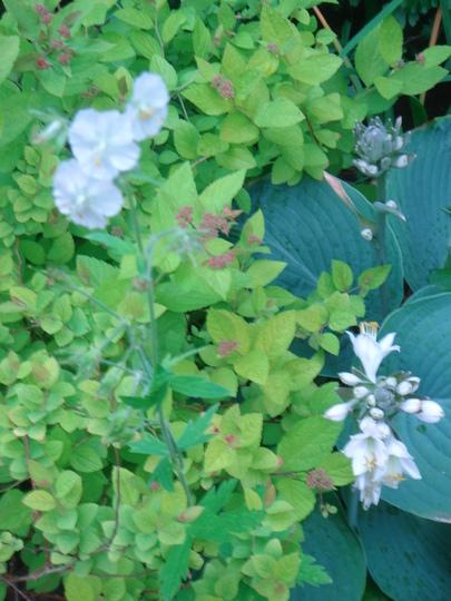 Geranium phaeum 'Album' grown through spirea & hosta - June 2007 (Geranium phaeum)