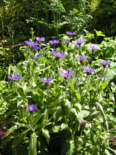 Centaurea montana (Centaurea montana (Berg Centaurie))