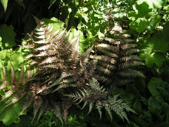 Athyrium niponicum Pictum (Athyrium niponicu m)