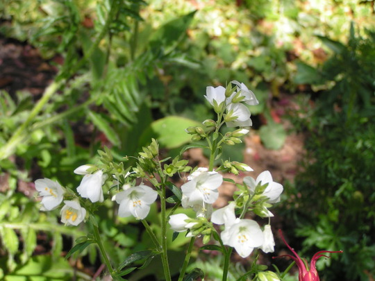 polemonium caeruleum alba (Polemonium caeruleum alba)