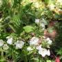 Polemonium_caeruleum_alba