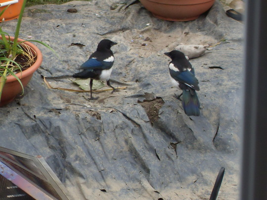 baby magpie out with parent