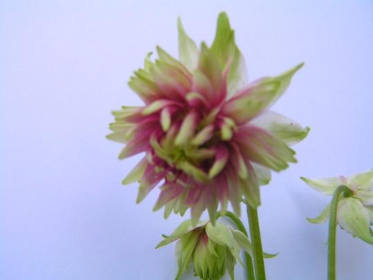 Aquilegia vulgaris 'Nora Barlow' (Auilegia vulgaris 'Nora Barlow')