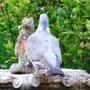 Wood_pigeons_24_05_09_2