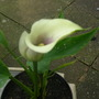 New Arum Lily this one is called (Vermeer)