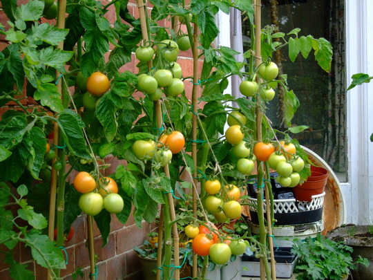 Some more last years' tomatoes.