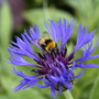 Bee Enjoying Cornflower (Centaurea cyanus (Cornflower))