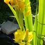 Flag iris..........