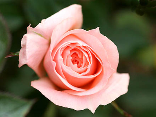 autobiography on rose flower Brief information on the history of roses and it includes the details on war of roses and tudor rose roses in modern period, some legends on roses are also added the flower expert.