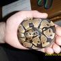My pet Royal Python Fluffy