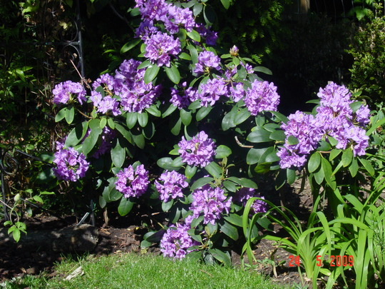 Rhododendron 2 (Rhododendron)