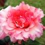 Great Expectations (Rose) (Mackalves Floribunda)