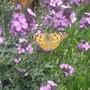 Butterflies_005