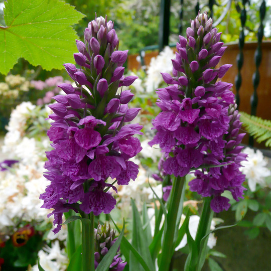 Orchis Foliosa  (for Puddles )