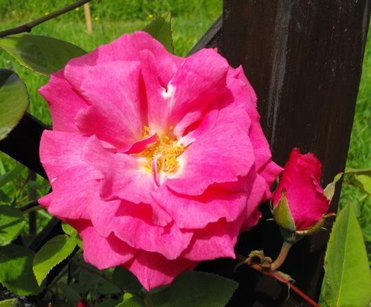 Delphirin Rose