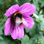 Bee_on_geranium