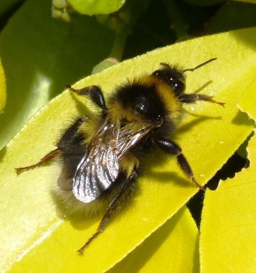 Bee on Choysia