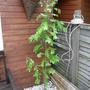 Wisteria Sinensis (Wisteria sinensis)