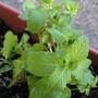 Herb_garden_2008_002