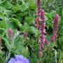 Salvia nemorosa 'Pink Friesland'
