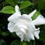 gardenia (gardenia 'Chuck Hayes')