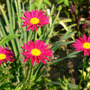 Hot pink Painted Daisy (Chrysanthemum carinatum unnamed Hot Pink)