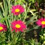 Hot pink Painted Daisy (Chrysanthemum carinatum unnamed Hot Pink)
