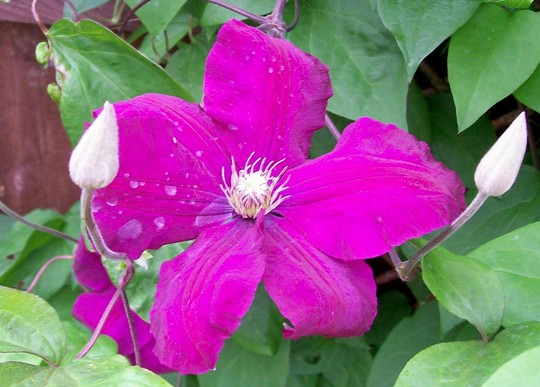 clematis 39 jackmanii rubra 39 grows on you. Black Bedroom Furniture Sets. Home Design Ideas