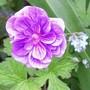 Geranium himalayense (Hardy geranium)