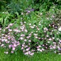 Saponaria ocymoides (Saponaria ocymoides (Tumbling Ted))
