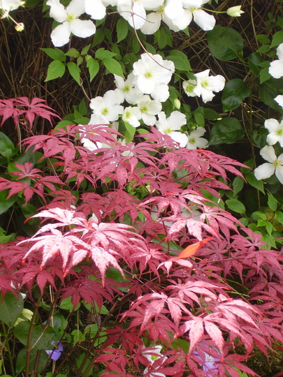 Acer and Clematis