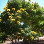 Spathodea campanulata &#x27;aurea&#x27;- Yellow/Golden African Tulip Tree in Balboa Park, San Diego, CA (Spathodea campanulata &#x27;aurea&#x27;- Yellow/Golden African Tulip Tree in Balboa Park, San Diego, CA)