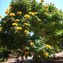 Spathodea campanulata 'aurea'- Yellow/Golden African Tulip Tree in Balboa Park, San Diego, CA (Spathodea campanulata 'aurea'- Yellow/Golden African Tulip Tree in Balboa Park, San Diego, CA)