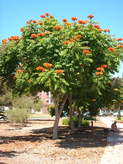 Spathodea campanulata - African Tulip Tree in Balboa Park, San Diego, CA (Spathodea campanulata - African Tulip Tree in Balboa Park, San Diego, CA)