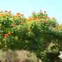 African Tulip Trees in Balboa Park, San Diego, CA (African Tulip Trees in Balboa Park, San Diego, CA)
