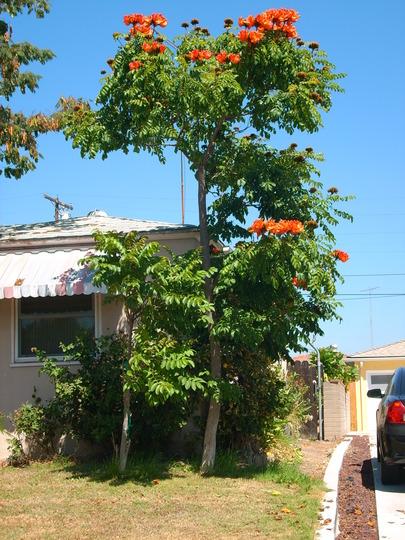 Spathodea campanulata - African Tulip Tree in San Diego, CA (Spathodea campanulata - African Tulip Tree in San Diego, CA)