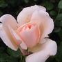 Gardeners Delight Rose