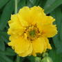 Geum_yellow