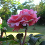 Great Expectations rose  (Mackalves Floribunda)