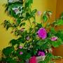 Floweringmaple4