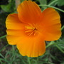 Californian Poppy (Eschscholzia californica (California poppy))