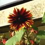 Sunflower__Dark_red_2005-09-13.jpg (Helianthus annuus)