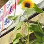 Sunflower_on_balcony_2005_006.jpg (Helianthus annuus)