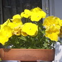 Pansies__yellow__on_balcony__24-05-08_001.jpg (Viola x wittrockiana)