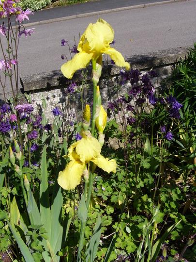 A beautiful yellow Iris (Iris)
