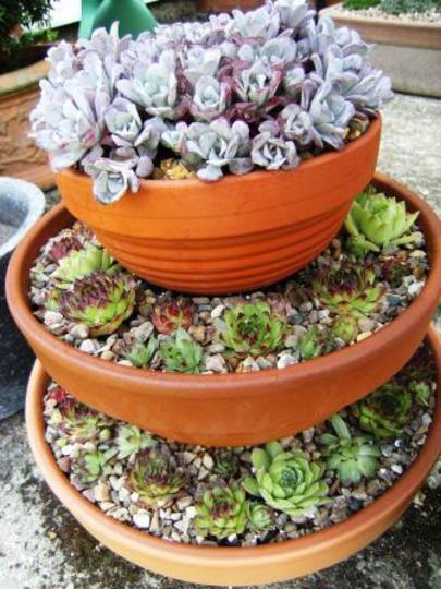 pots for summer (Sedum spathulifolium 'Cape Blanco')