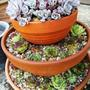 pots for summer (Sedum spathulifolium 'Cape Blanco')