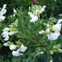 Salvia greggii 'Alba' (Salvia greggii 'Alba')