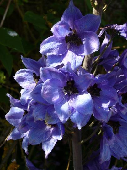 Delphinium 'pacific giant' individual flowers (Delphinium elatum (Delphinium))