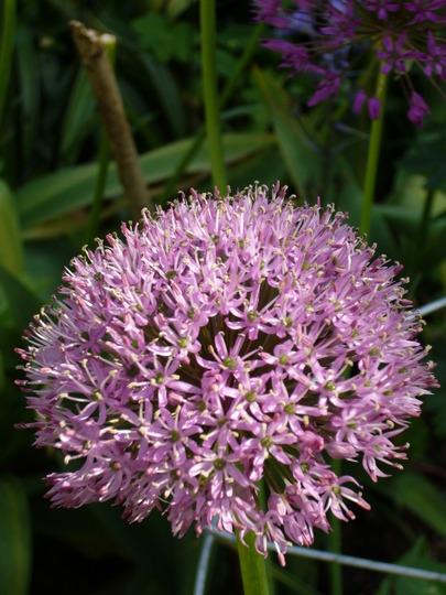 Alium aflatunense (Allium aflatunense)